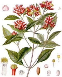Aceite de clavo de olor usos