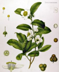 Aceite esencial arbol de te