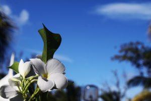 Aceite de Ylang Ylang propiedades