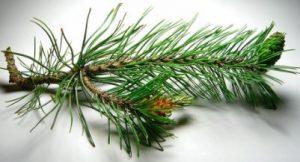 Aceite de pino beneficios