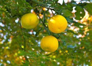 Aceite de yuzu para combatir el estrés