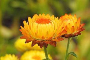 Flor de helicriso