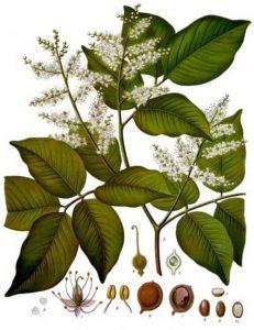 Aceite de Copaiba: Usos